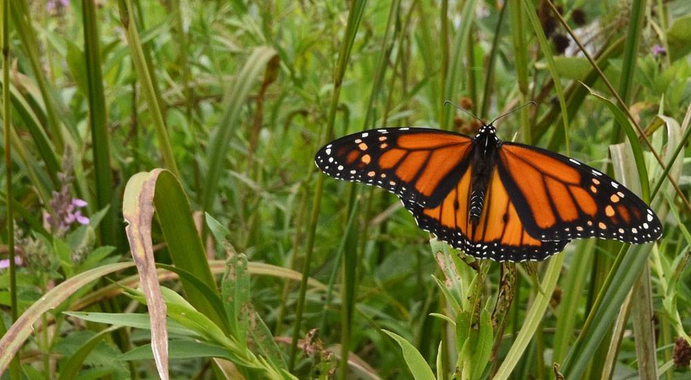How Iowans are helping monarchs